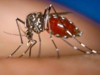 Health authorities say persons who have contracted the mosquito borne disease, Chikungunya, should remain home as Dominica recorded more than 31 cases of the disease so far.