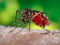 Aedes aegypti mosquito (file photo)