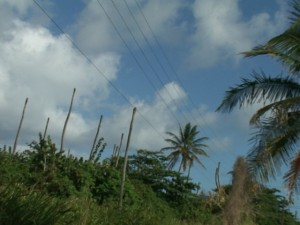 Photos courtesy of Eric Browne of the Department of Agriculture show decimated coconut trees.